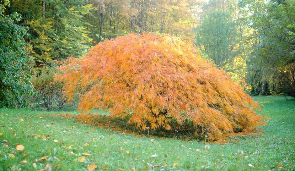 time lapse japanese maple tree 4 seasons professional. Black Bedroom Furniture Sets. Home Design Ideas